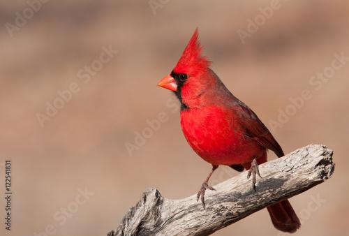 Photo  Beautiful bright red Northern Cardinal male sitting on a dry limb