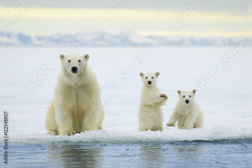 Polar bear mother with cubs on pack ice, Svalbard Archipelago Canvas Print