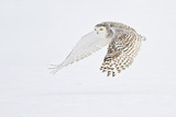 Snowy Owl flying over snow - 122549647