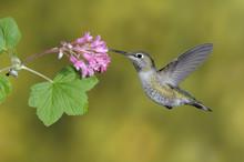 Female Anna's Hummingbird (Calypte Anna) Feeding On The Nectar Of A Flower.