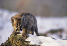 Cougar Kitten (Puma Concolor) 2 Months Old, In The Snow.