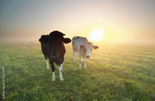 Aluminium Prints Cow cows on pasture with sunrise sun