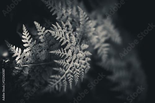 Black and white ferns