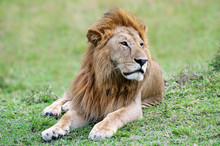 Male African Lion (Panthera Le...
