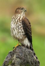 Immature Cooper's Hawk (Accipiter Cooperii) Perched On Rock, Victoria British, Columbia, Canada