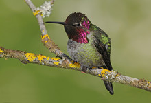 Male Anna's Hummingbird (Calypte Anna) On Perch In Victoria, Vancouver Island, British Columbia, Canada