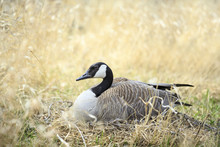 Canada Goose (Branta Canadensis) Nesting, Fort Whyte, Manitoba, Canada