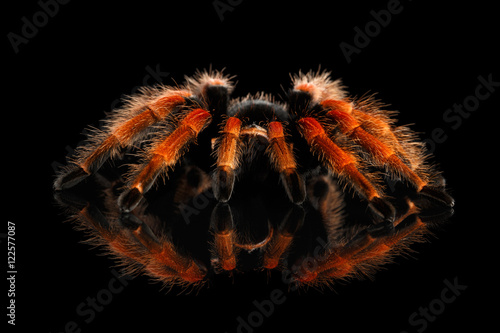 Foto Close-up Big hairy Red Tarantula Theraphosidae isolated Black Background with Re