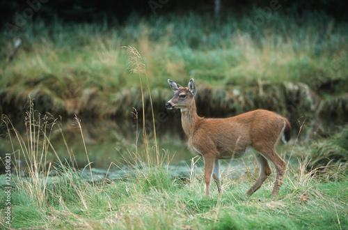 Queen Charlotte Islands - Hadia Gwaii - Sitka Black-tailed Deer (Odocoileus hemionus sitkensis), British Columbia, Canada.