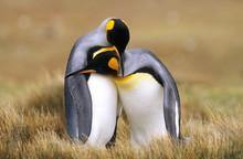 Two King Penguins, Volunteer Point, Falkland Islands
