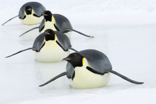 Emperor Penguin Tobogganing On Ice, Snow Hill Island, Antarctic Peninsula