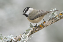 Mountain Chickadee (Poecile Gambeli) Perched On A Branch At The Sandia Crest Near Albuquerque, New Mexico, United States Of America.