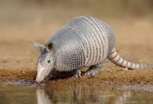 Armadillo (Armadillo Dasypodidae) At Water Hole In South Texas, United States Of America