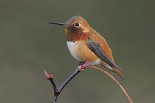 Male Rufous Hummingbird (Selas...