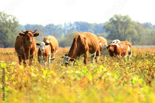 Staande foto Fiets Cows in pasture on farm