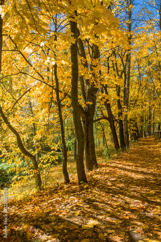 Maple alley on a sunny autumn day. © Valery Smirnov