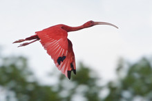 Scarlet Ibis (Eudocimus Ruber) Flying To A Roost Site In Trinidad And Tobago.