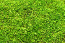 Macro Photo With Green Moss Ba...