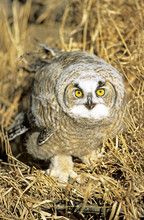 Six-week Old Great Horned Owl Chick (Bubo Virginianus) That Had Recently Left The Family Nest, Alberta, Canada.