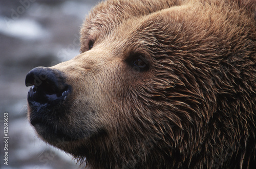 grizzly face, close up, Knight Inlet Lodge, British Columbia, Canada.