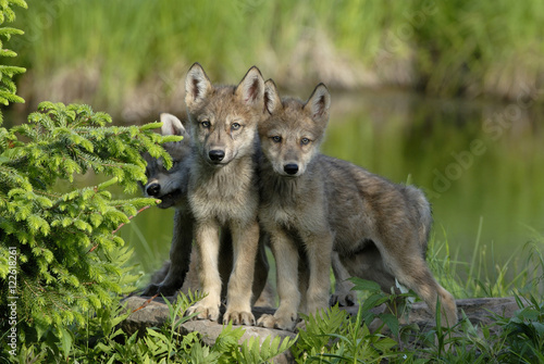 Wolf (Canis lupus) pups in deciduous woods, Minnesota, USA Canvas Print