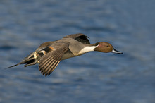 Male Northern Pintail (Anas Ac...
