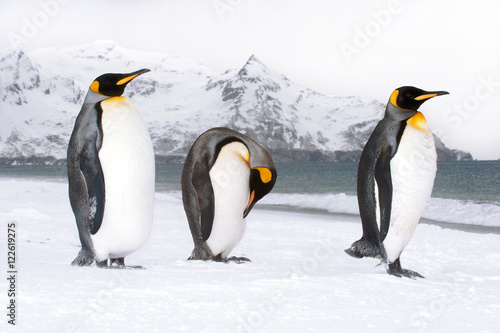 Poster Pinguin King penguins (Aptenodytes patagonicus) loafing on the beach, Island of South Georgia, Antarctica