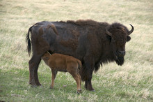 Wild American Bison (Bison Bison) With Nursing Newborn Spring Calf.  Wind Cave Nat'l Park, South Dakota, USA.