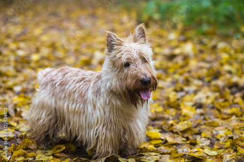 Fotografie, Obraz  Beautiful Scottish Terrier dog standing on the yellow foliage in