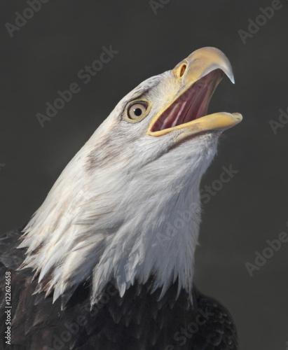 Bald Eagle, Haliaeetus leucocephalus, perched in Saskatchewan, Canada