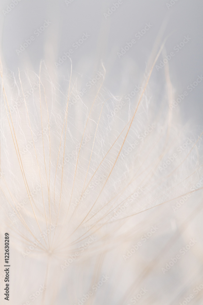 Fototapety, obrazy: Extreme closeup dandelion flower background