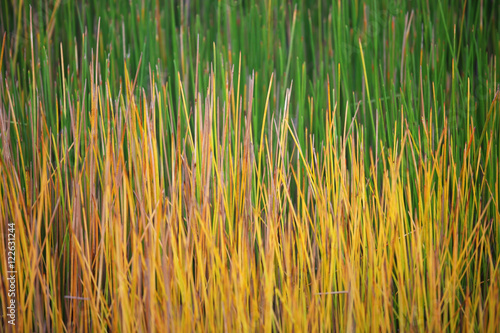 Fotomural colorful sedge plant