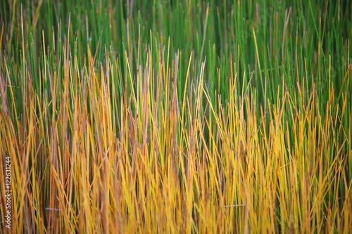 Fototapeta  colorful sedge plant
