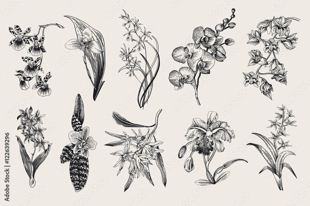 Fototapety, obrazy: Exotic orchid set. Botanical vector vintage illustration. Design elements. Black and white