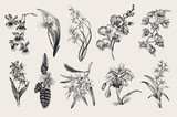 Fototapeta Storczyk - Exotic orchid set. Botanical vector vintage illustration. Design elements. Black and white