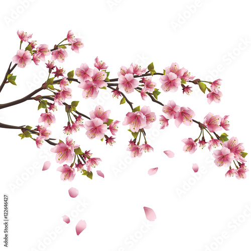 Sakura blossom - Japanese cherry tree isolated on white backgrou Poster