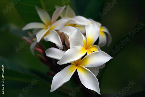 Fotografie, Obraz  White frangipani