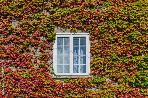 White window covered by creeper ivy Fototapeta