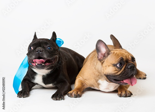 Tuinposter Franse bulldog Animals. Two dogs black and beige, French Bulldog, white isolat