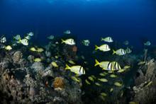 Yellow Fish In Bahamas