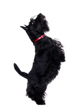 Black Scotch Terrier L Standing On Hind Legs Isolated On White