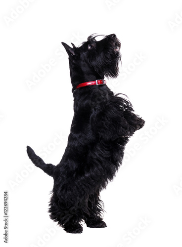 Fotografie, Tablou Black scotch terrier jumping on hind legs isolated on white