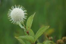 Buttonbush Flower In The Swamp...