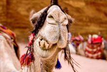 Closeup Of A Camel In Petra Jo...