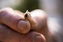 Hand Holding A Honey Bee