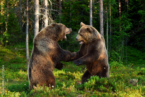bear fight. bears fighting. animal fight. Canvas Print