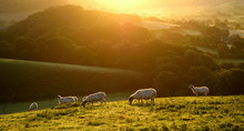 Flock Of Sheep Grazing At Sunrise In A Field Of Marshwood Vale In Dorset AONB (Area Of Outstanding Natural Beauty)