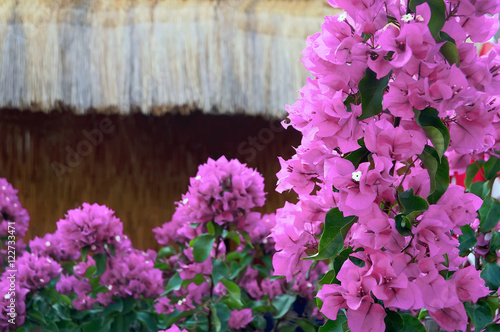 Leinwand Poster Exotic plant bougainvillaea