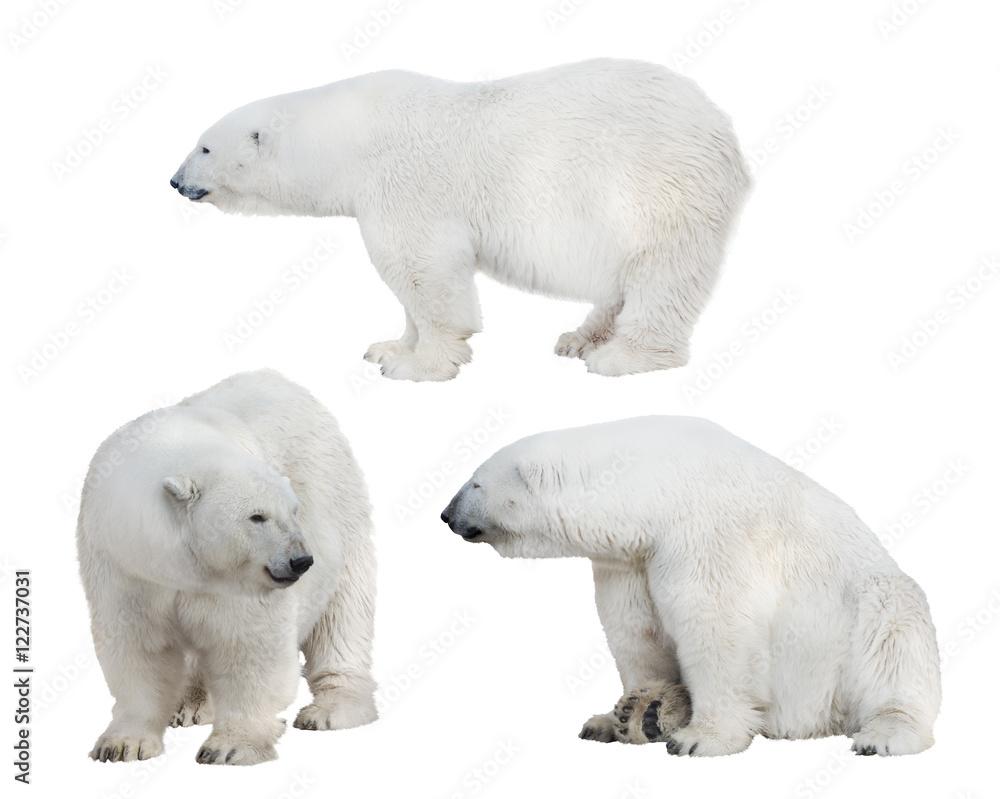 set of three white polar bears