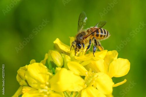 Plakat Pszczoła miodna